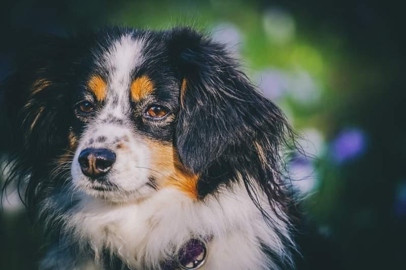 Australian shepherd Breed Dog For Traveling