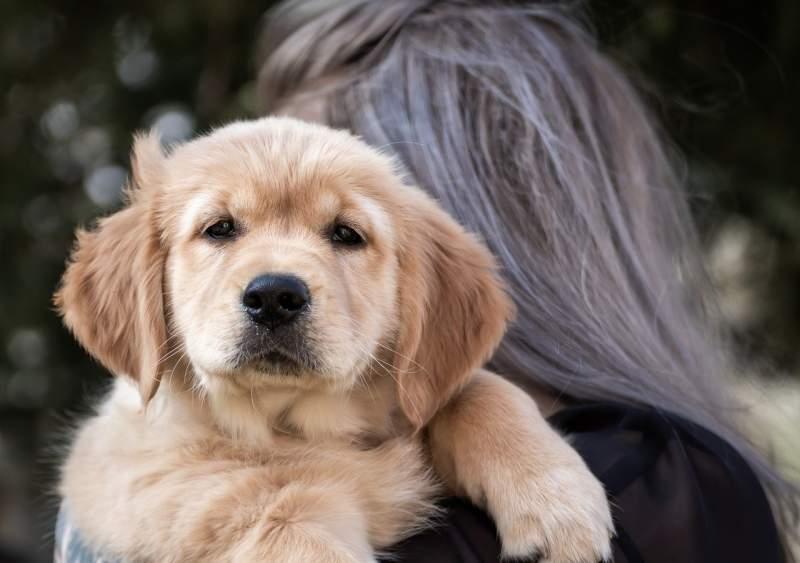 Golden retriever Breed Dog For Traveling