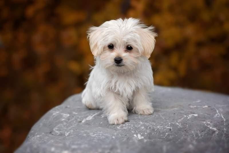 Maltese Breed Dog For Traveling