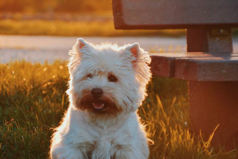 Norwich terrier Dog For Traveling
